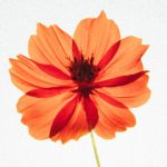 orange flower silhouette by Hotae Kim (Unsplash)
