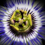 Passiflora by Foto-RaBe (via Pixabay)