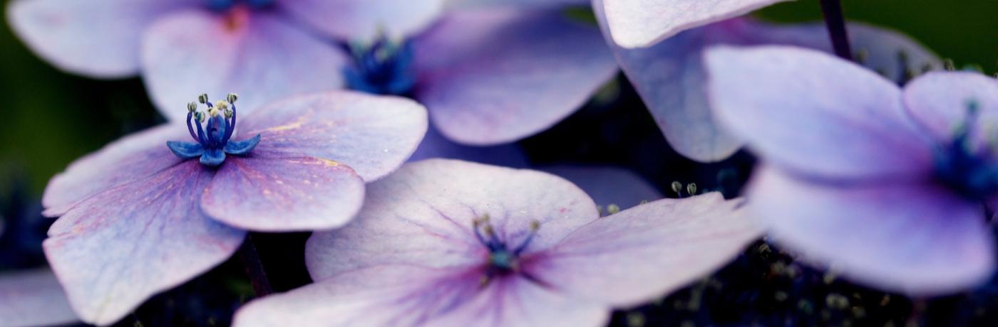 Mauve flowers (cameo) by Nikhita Singhal